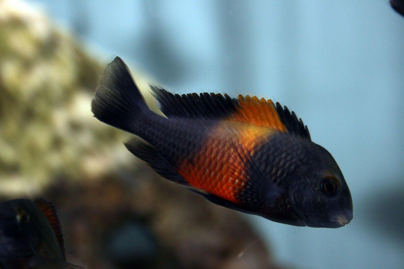 Tropheus Moorli Bemba 4cm Orange Flame Lake Tanganyika Cichlid Cichlids African Cichlid Aquarium Cichlid Aquarium