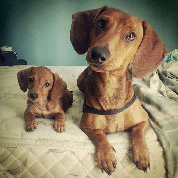 Puppy And Mother Cute Dogs Dachshund Puppies Dog Love