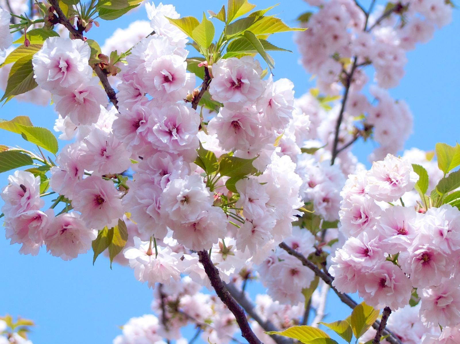 17 Facts You Probably Didn T Know About Sakura Tsunagu Japan Sakura Sakura Cherry Blossom Japanese Landscape