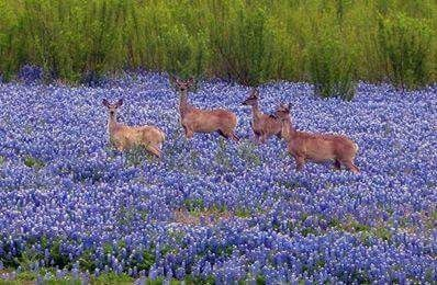 Deer in bluebonnets Muleshoe Texas by MyohoDane