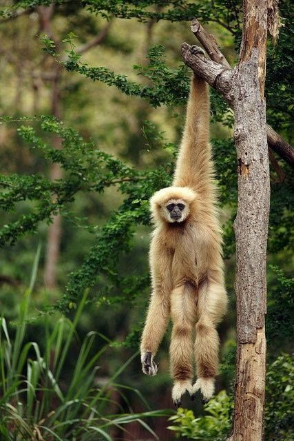 The Gibbon | Nature animals, Animal planet, Cute animals