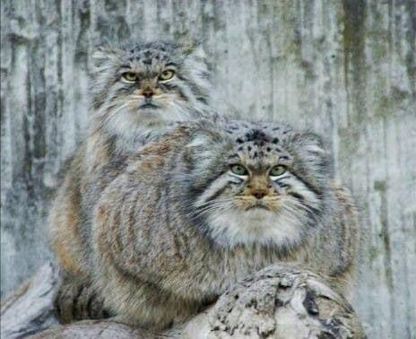 Pallas Cats Cats Pallas S Cat Rare Cats