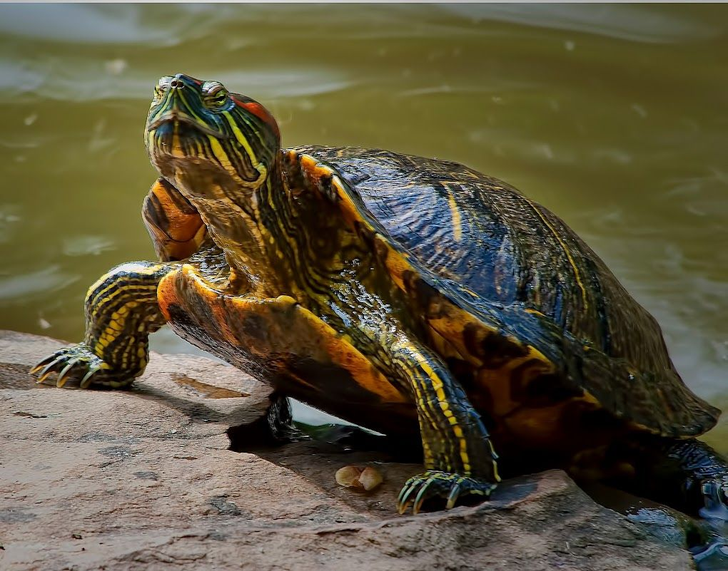 red eared slider photo by Robby Bowles Red eared