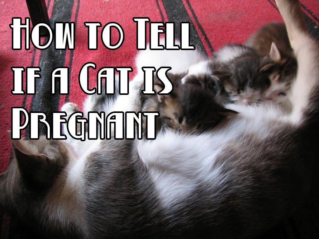How to Tell if a Cat is Pregnant Cats, Pregnant, To tell