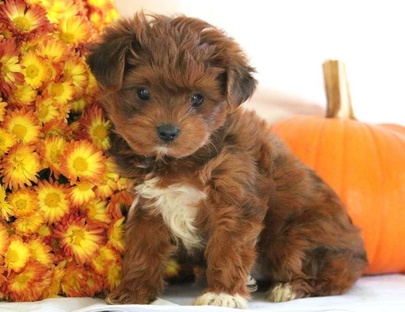 Skyler Yorkiepoo Puppy For Sale Keystone Puppies Yorkie Poo Yorkie Poo Puppies Puppies For Sale