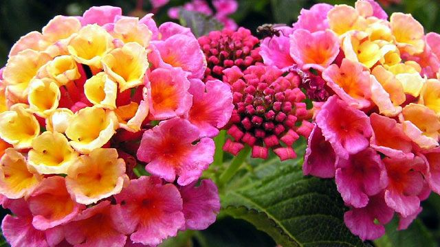 Lantana Wonderful Bloomer And No Deadheading Annual In Our Zone But Spreads Quite Well After The First Month Of Hot Sun Plants Flowers Beautiful Flowers
