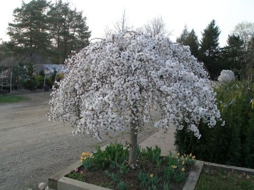 Graceful Weeping Irregular Form Literally Covered With Snow White Blossoms In The Spring Small Treesdwarf Flowering