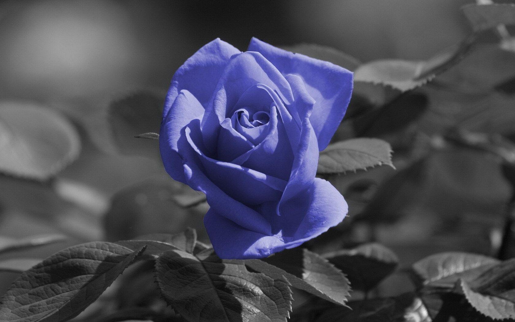 Image Detail For Wallpaper Original Rose Flower Blue Black White Frame Background Color Splash Black And White Roses Amazing Flowers