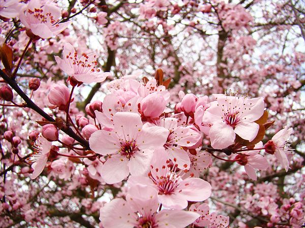 Pink Blossoms Floral Baslee Troutman Fine Art America Blossoms Art Pink Trees Blossom Trees