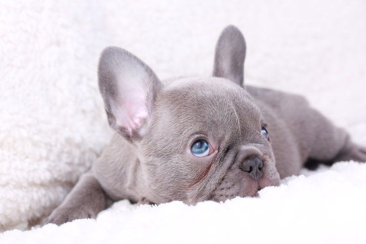 Lilac French Bulldog Puppy Now Living In California French