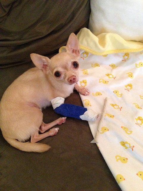 Ow Chihuahua Chihuahua Cute Animals Chihuahua Dogs