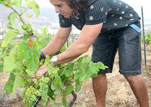 Een boer plukt zijn Malvasia druif, een typischen druivensoort waar de Malvasia wijn van wordt gemaakt op de Canarische eilanden.