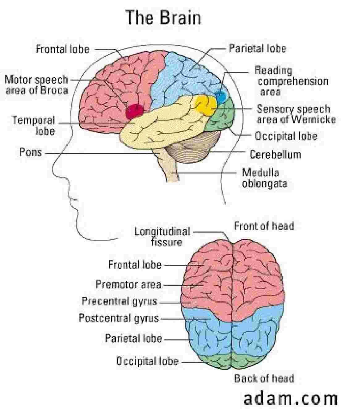 Brain diagrams human anatomy pinterest brain diagram and brain brain diagrams ccuart Image collections