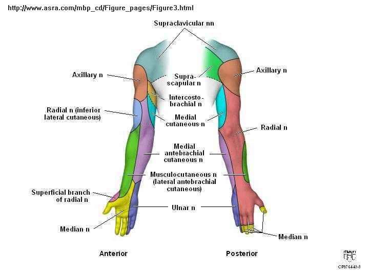 Brachial Plexus Sensory   Interscalene Brachial Plexus Block ...
