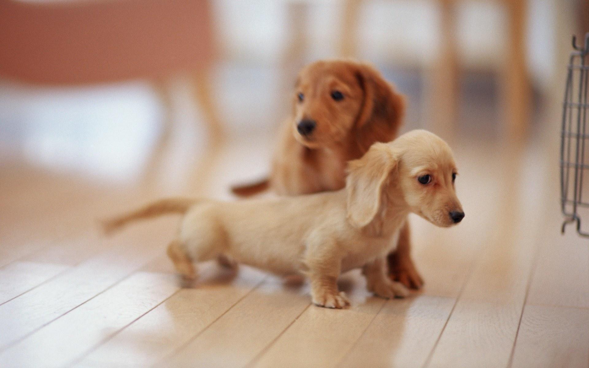 Lovely Dog Wallpaper Dachshund Puppy Miniature Dachshund