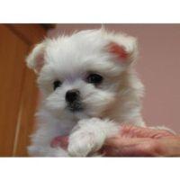 Gumtree Miniture Maltese Puppies Malteser