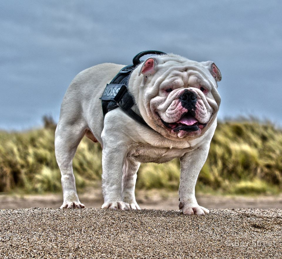 French Bulldog kolbieandkeeva ️ ️ ️ . . SHOP our