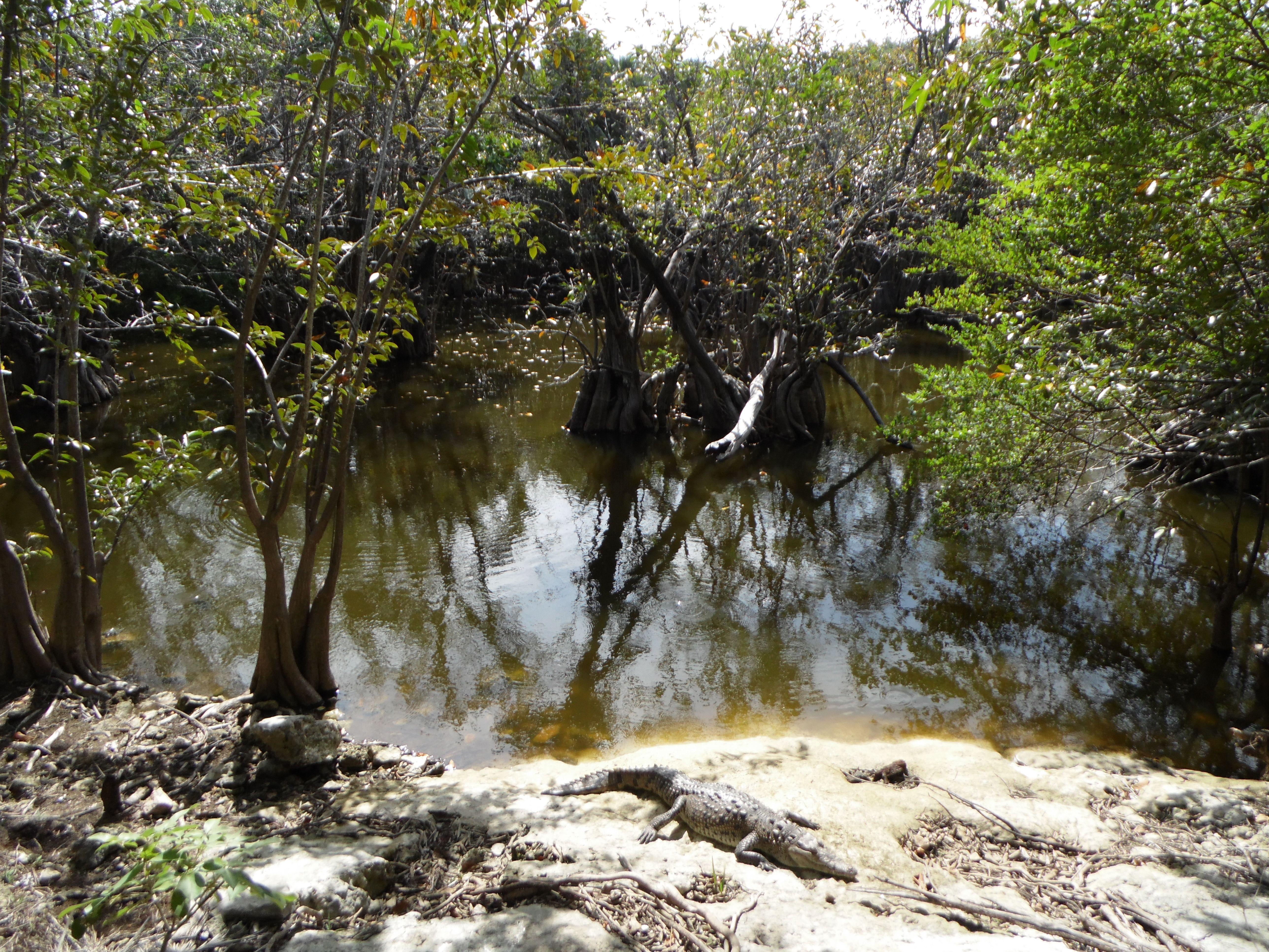 Cocodrilo asoleándose en el parque Kabah, Cancún, Quintana Roo, México. http://dianawestrup.wordpress.com