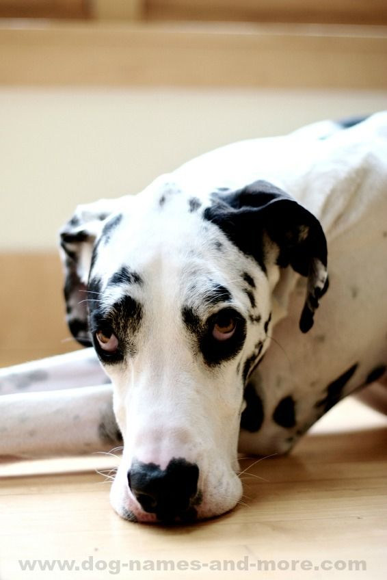 Great Dane Names Unique Ideas For Males And Females Big Dog