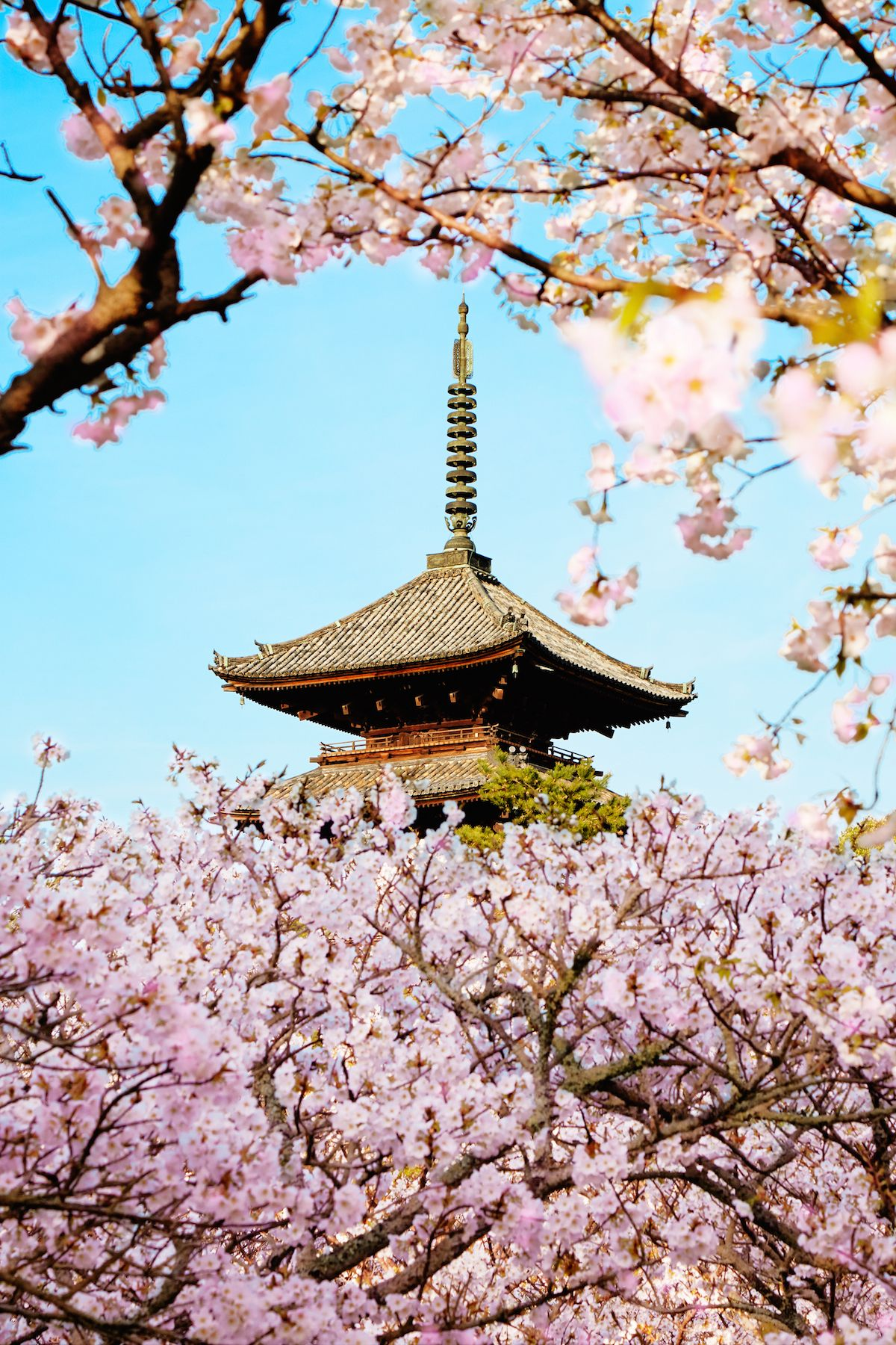 How To Experience Cherry Blossom Season In Tokyo Cherry Blossom Season Tokyo Tourism Amazing Destinations