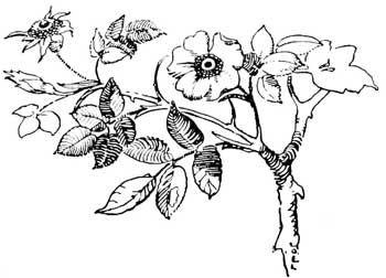 wild prairie rose bush root drawings mustn t harm the dandelion