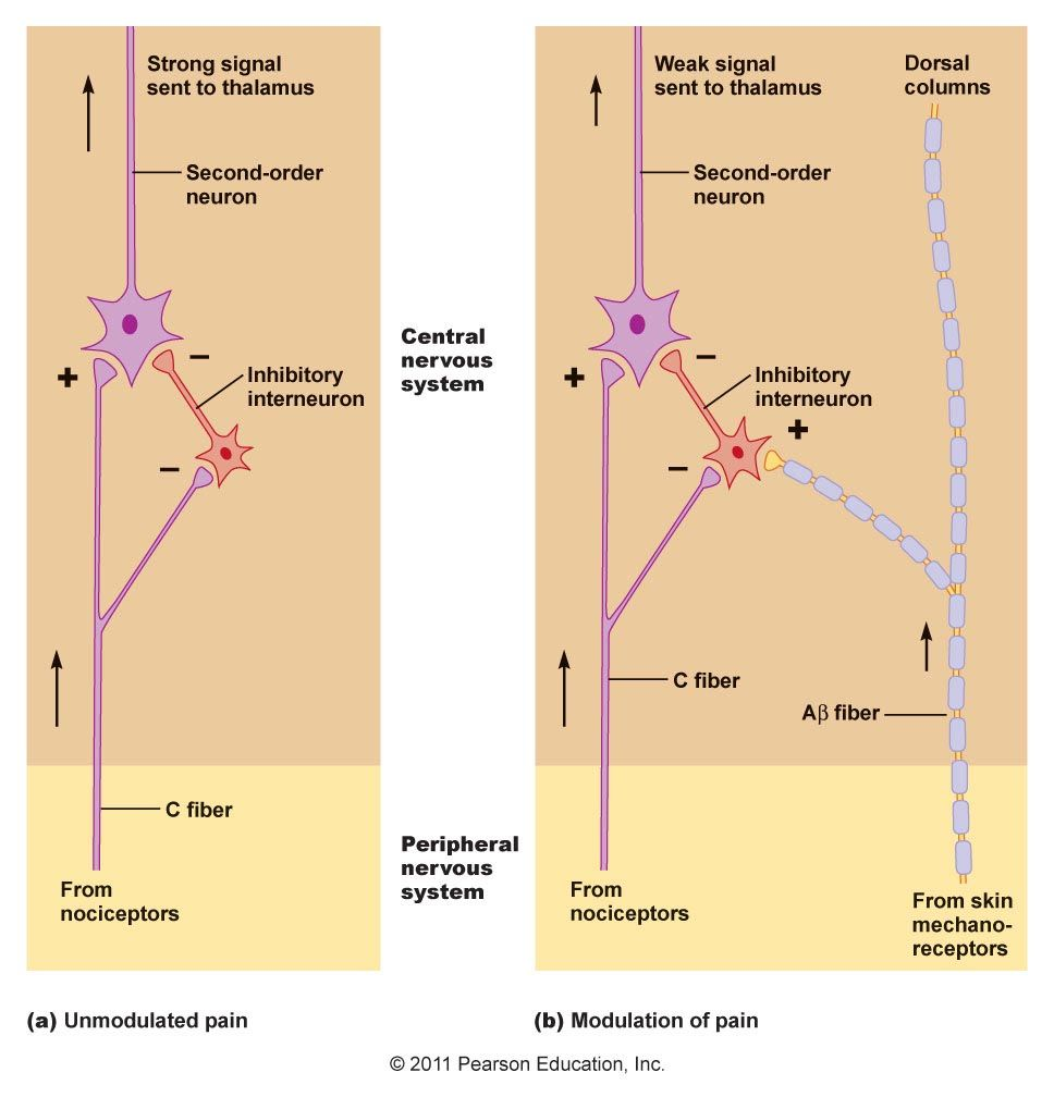 Chapter 10 Physiology Pharmacist Neurons