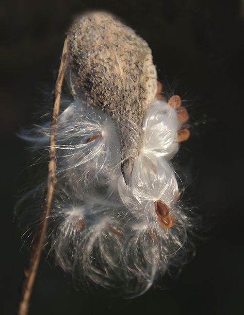 Lisa Gordon Photography Weathered And Beautiful Milkweed Milkweed Pods Milkweed Art