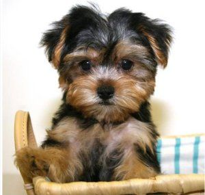 Shih Tzu Yorkie Mix Thee Cutest