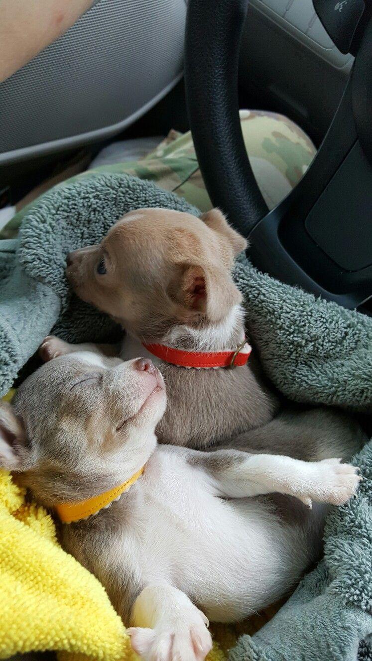 Doogie Peeking Again Cute Chihuahua Chihuahua Puppies Chihuahua Love