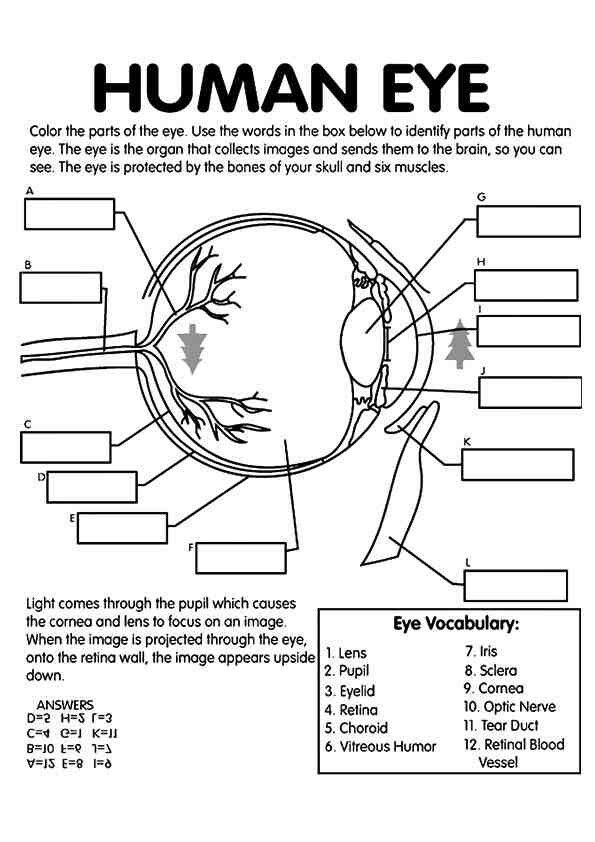worksheet with answer for structure of human eye