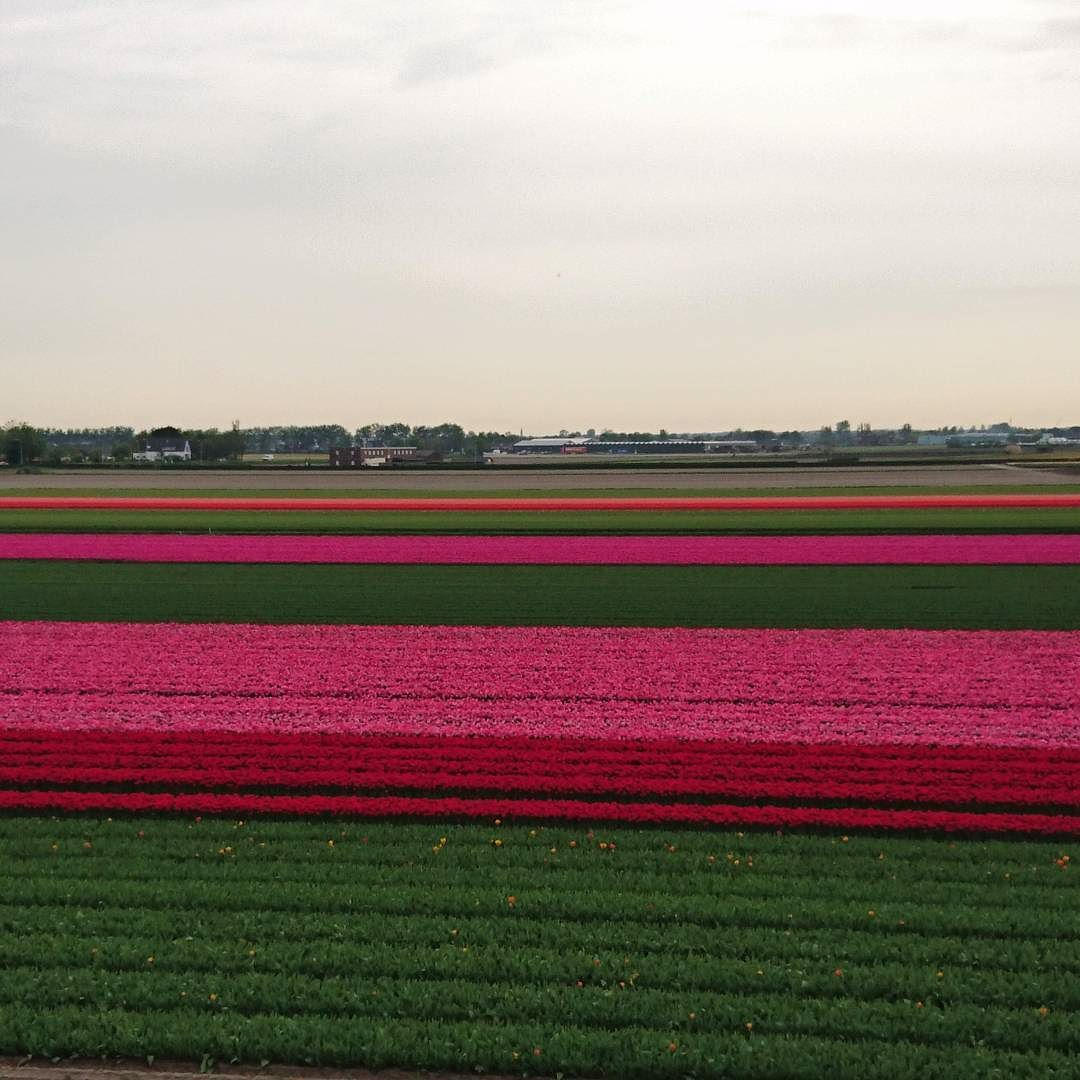 And THIS is what a straight up field of tulips looks like.  #travel #netherlands #holland #keukenhof #flowers #floweradmirer #tulips #tulipgarden #pinktulips #nofilter #scenery #green #pink #beautiful #garden #farm #tulipfarm #tulipfields by amcdangerfield