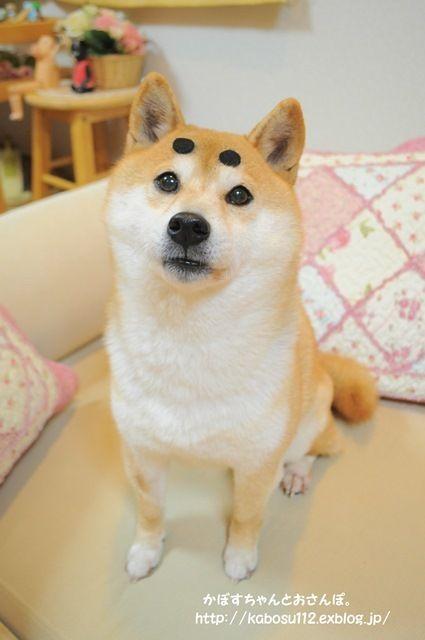 さんぽ お かぼす ちゃんと 柴犬かぼすちゃんと飼い主のソーシャルディスタンスは何センチ?|いぬのきもちWEB MAGAZINE