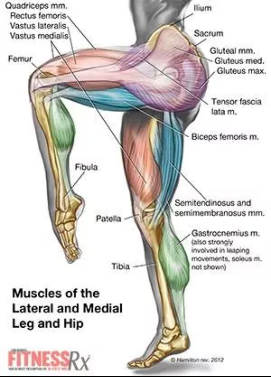 Need to know the very muscle of your legs and down | anatomy ...