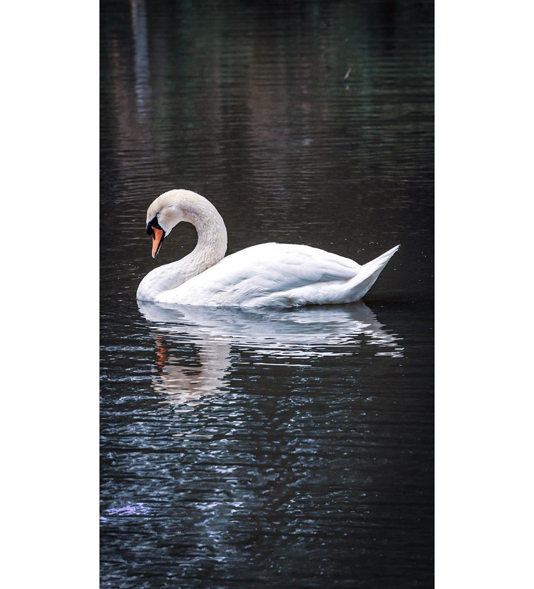 lone-swan-not-in-pairs