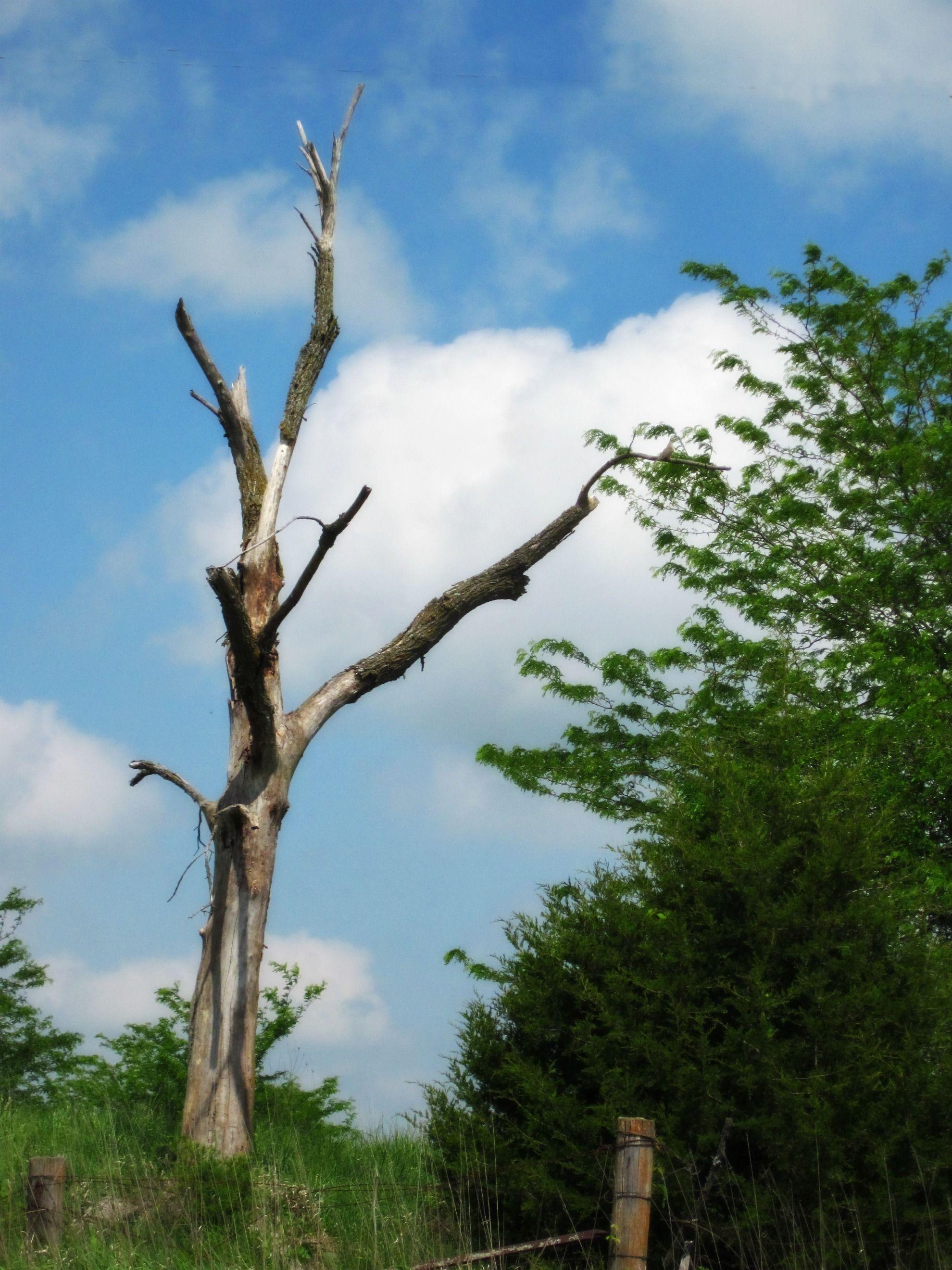 dead tree, blue sky