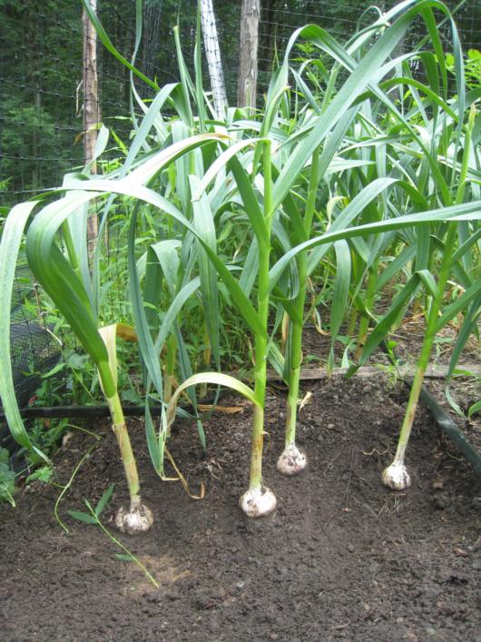 Growing Garlic In Florida Fallvegetablegardeningflorida