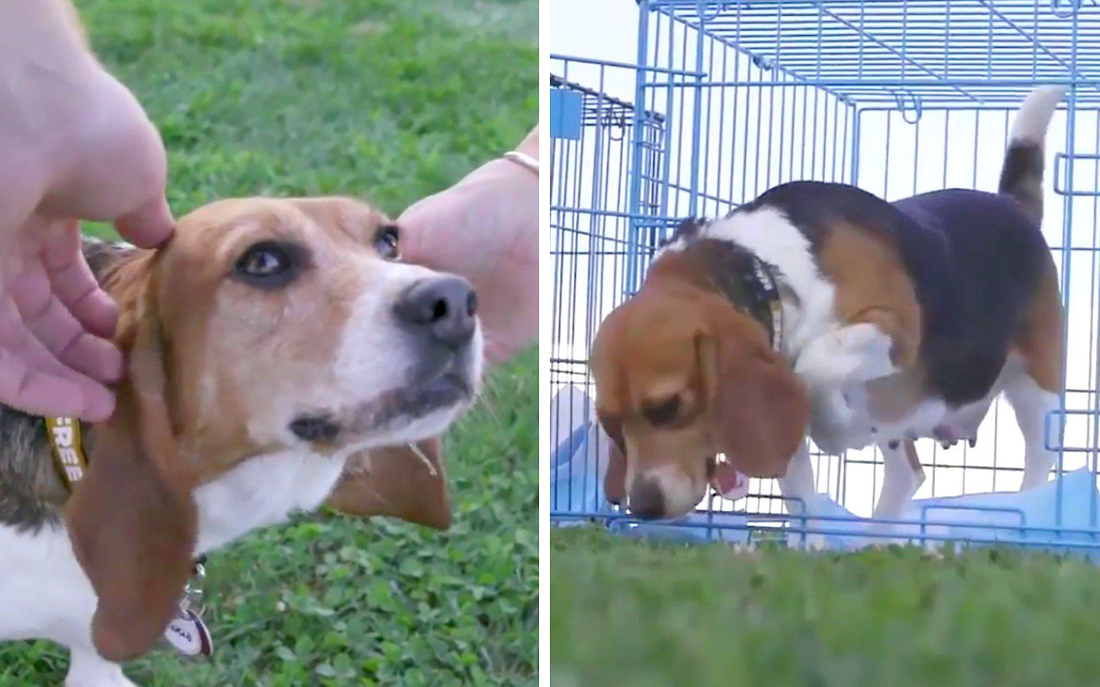Watch The Beautiful Moment Former Laboratory Beagles Set Foot