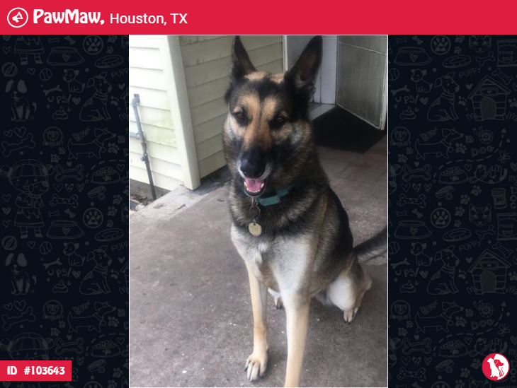 CHOCOLATE A FEMALE DOG LOST IN HOUSTON, TX, 77017