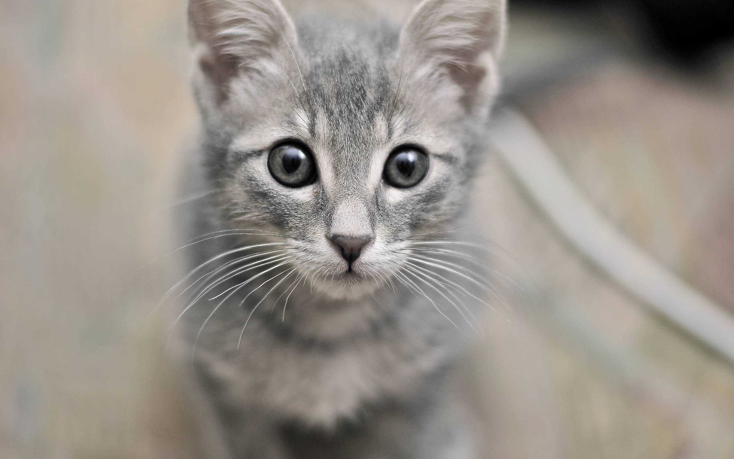 Grey kitten Grey Kitties Unite Pinterest