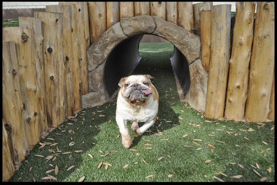 Dog Run With Tunnel Dog Playground Dog Yard Indoor Dog Park
