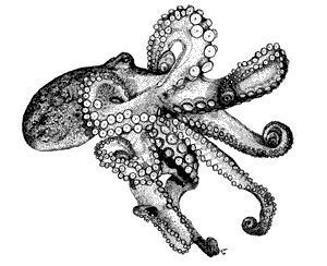 image result for realistic octopus drawing