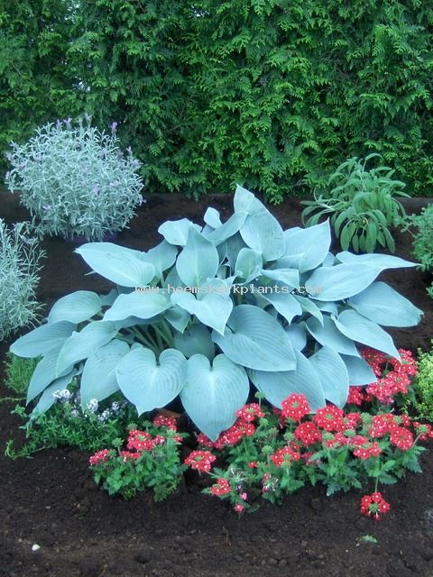 Hosta Canadian Blue Flowers  plants Pinterest Plantas