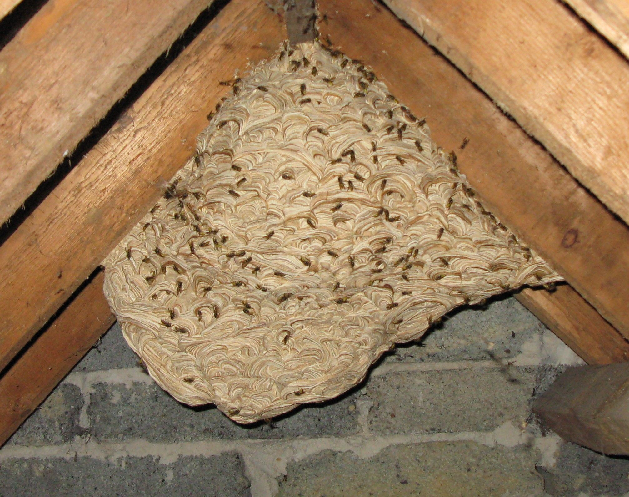 yellow-jacket nests   Had a large yellow jacket nest removed from ...