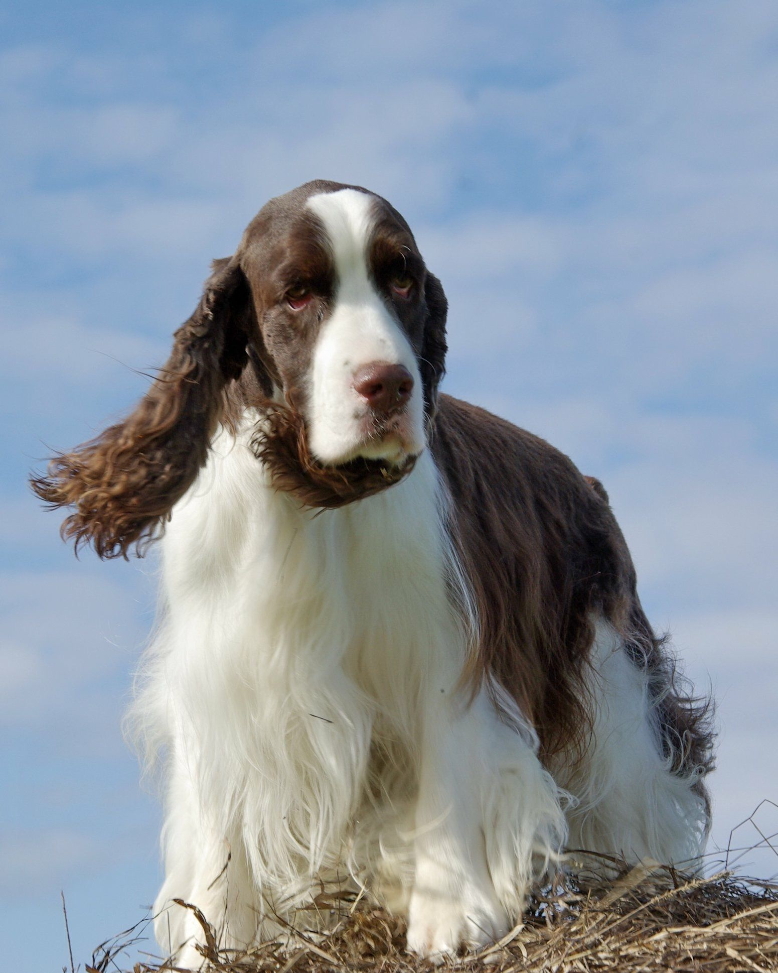Pin By Chuck Dobson On English Springer Spaniel Akc Dog Shows Springer Spaniel English Springer Spaniel