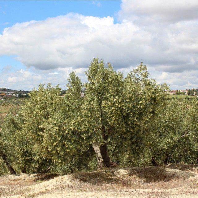 La floración del olivo. Flowering olive.