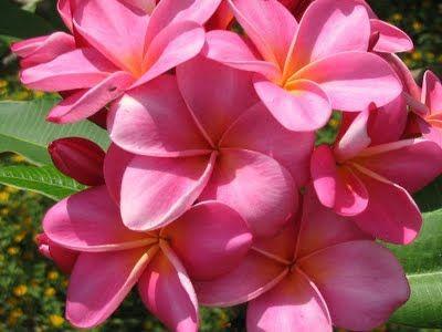 Love Hawaii's pink plumeria