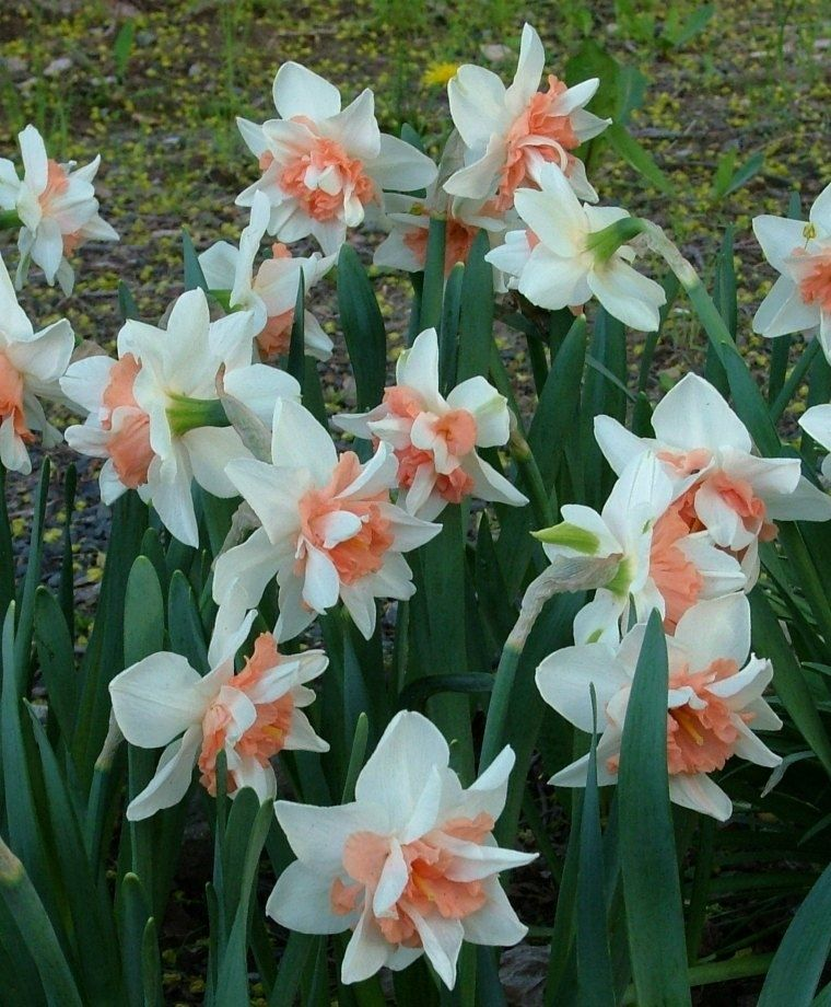 Narcissus Candy Princess Bulb flowers, Narcissus flower