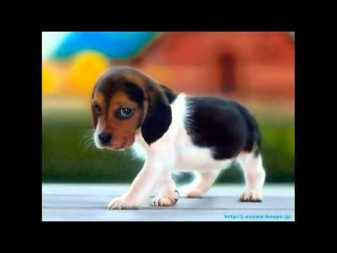 Top Small Beagle Adorable Dog - df8302ea805d6eab9545b56ea1dd0b71  Picture_183327  .jpg