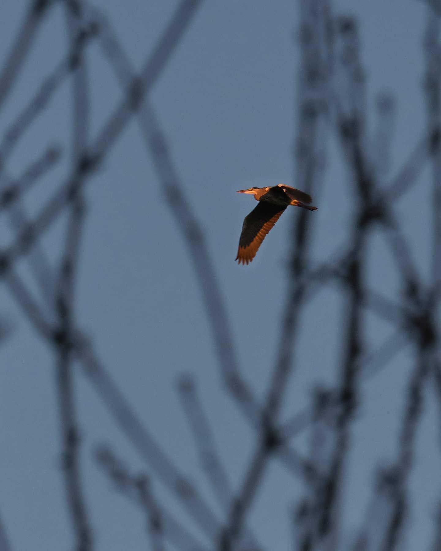 Heron   Last Light .  Fujiflim X-T30  XF55-200mm   ƒ/16   1/300   200 mm   ISO800  Leusden The Netherlands . . . . . . . . . #timingiseverything #inthemoment #timingiseverything #fujilovers #amazingbirds #bestbirdsofinstagram #greyheron #bird_photography #wildlifebirds #birdphotos #bird_perfection #dailybirdpix #eyes_up #bestbirdshot #your_bird_capture #birds_natural #ig_bird_watchers #instaholland #mooinederland #nederland_ontdekt #netherlands_captured #dutch_best #living_netherlands #toeristin