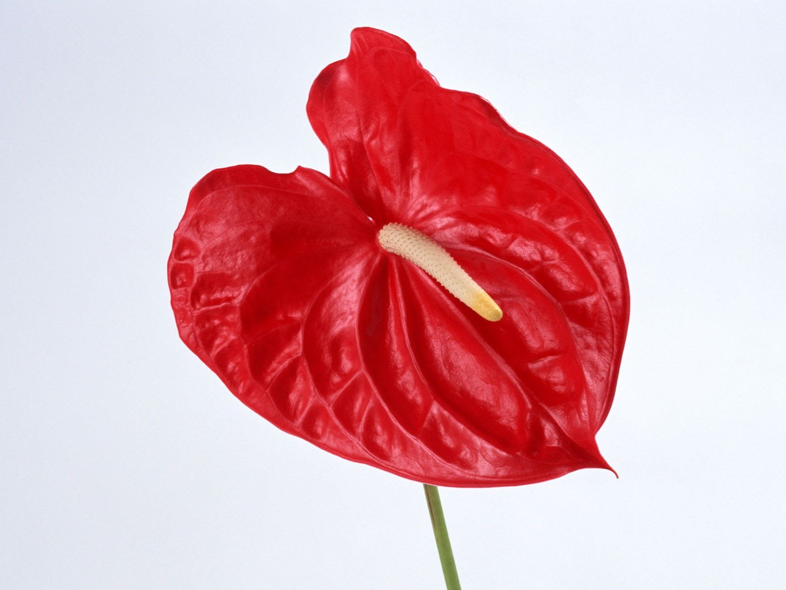 1600x1200 Wallpaper Anthurium Flower Red Stamen Anthurium Flower
